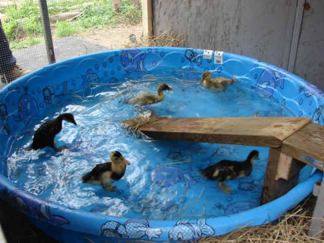 nos-canard-à-un-mois